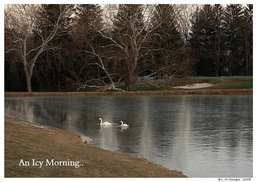 Swans Icy Morning Bath
