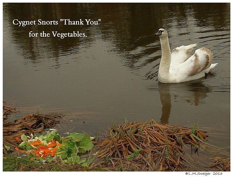 Swan Cygnet Vegetables