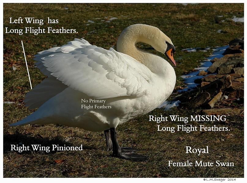 Pinioned Female Mute Swan