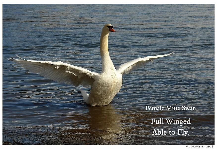 Full Wing Mute Swan