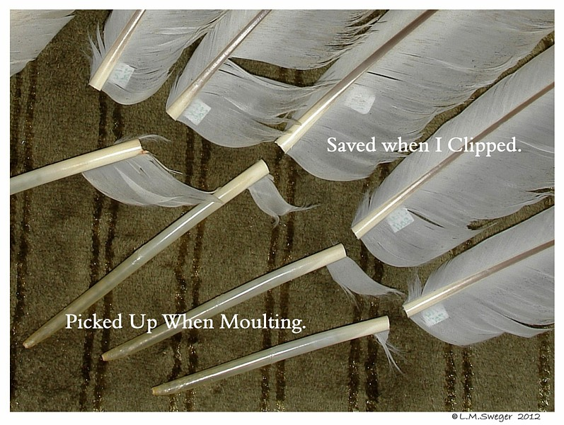 Clipped Swan Feathers