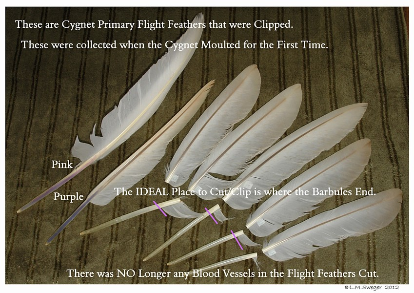 SWAN Clip Wing Feathers