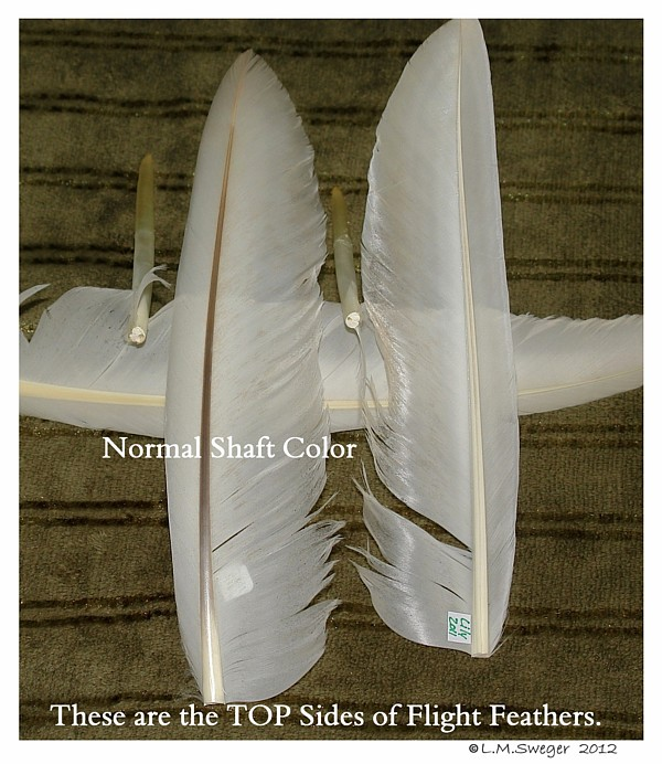 SWAN Clipped Wing Feathers