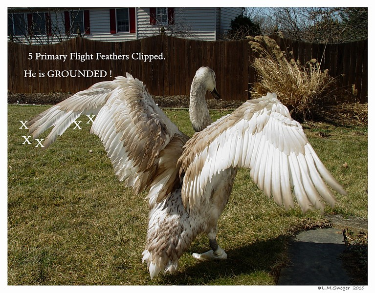 Clip Swan Cygnet