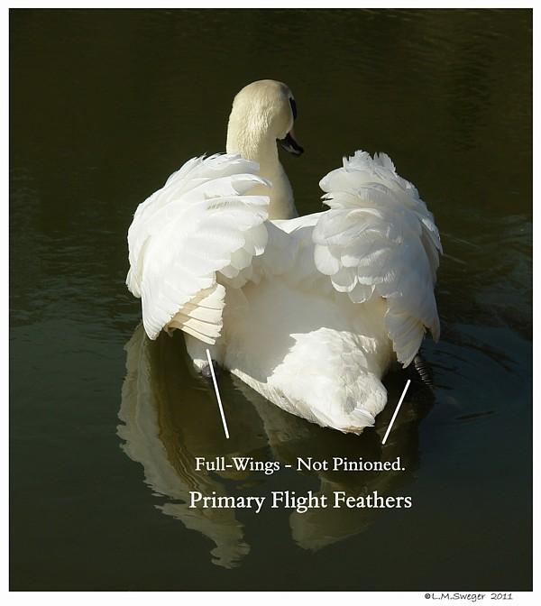 Mute Swan Cob Full Wing