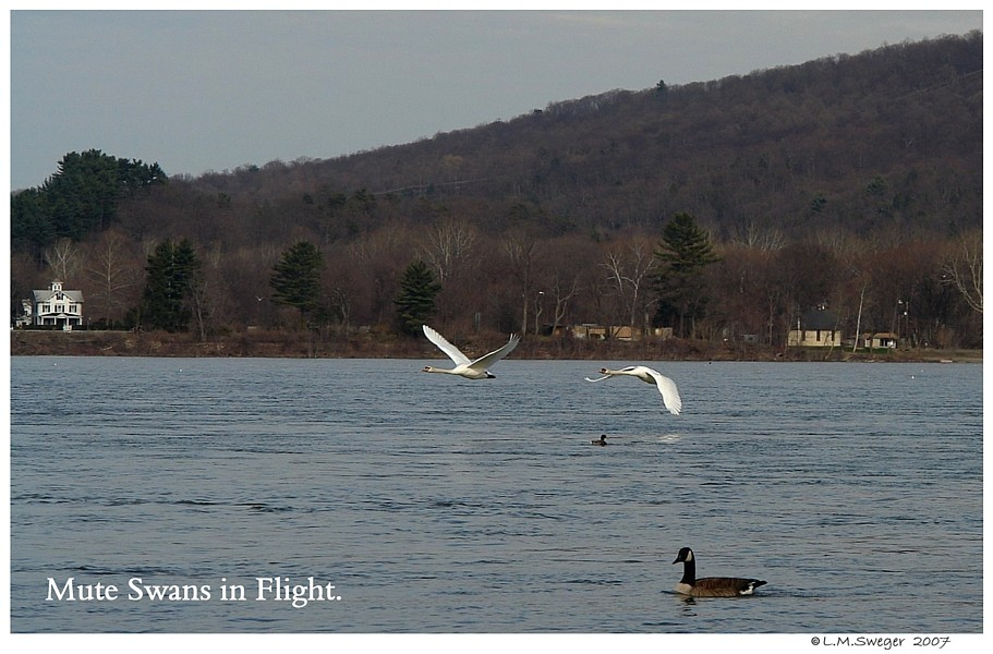 Mute Swans Flying