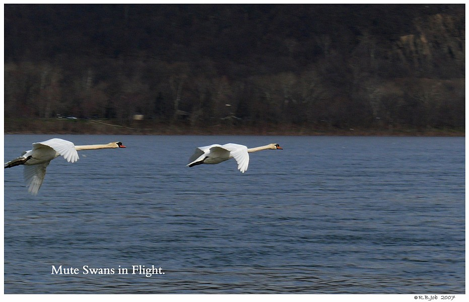 Mute Swans Fly Away
