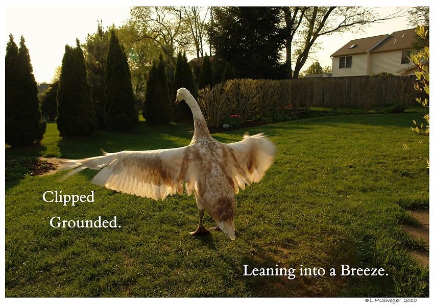 Swan Cygnet Grounded