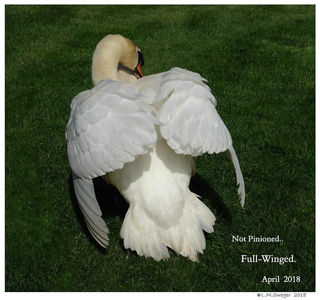 Swan Full Winged