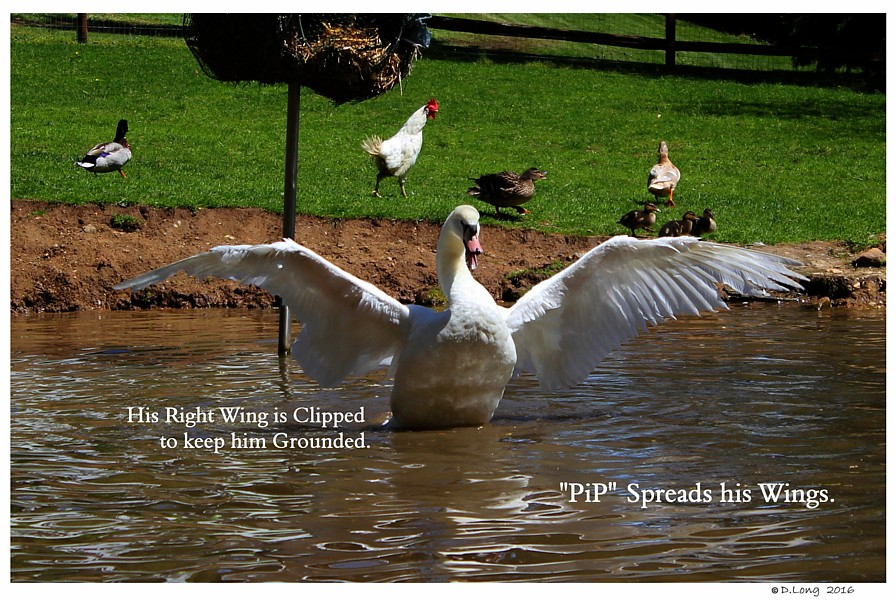 Cygnet Clipped Wing
