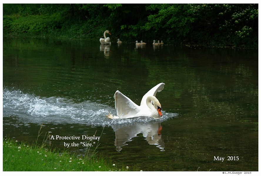 Protective Mute Swan