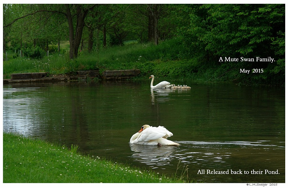 Happy Mute Swan Family