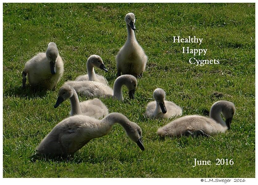 Healthy Mute Swan Cygnets