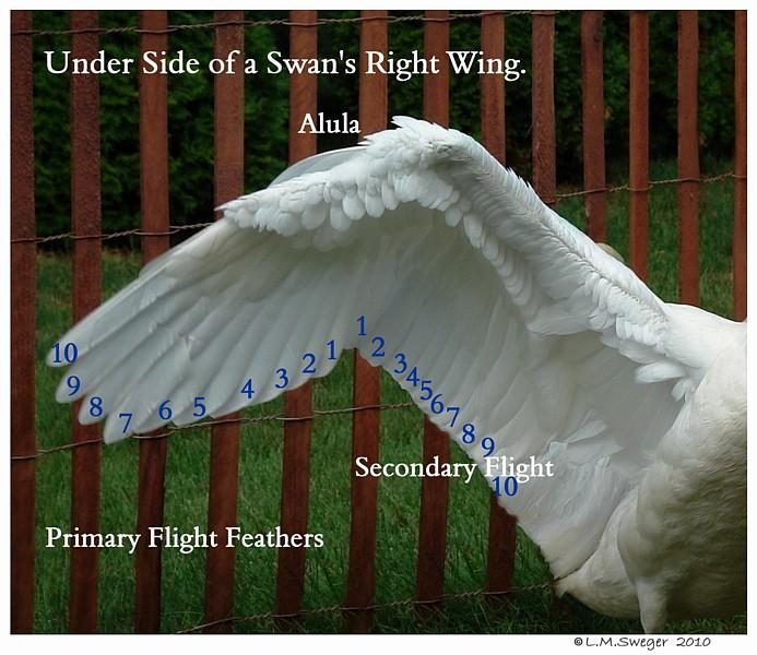 Pinion Swan Cygnets