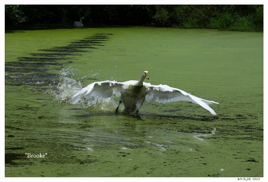 Mute Swan Running on Water
