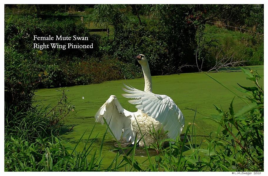 Pinioned Mute Swan