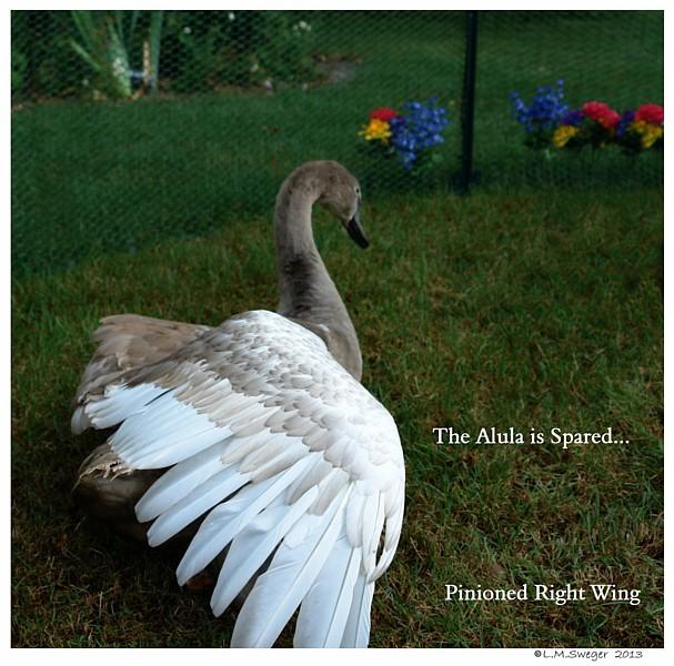 Pinion Swan Cygnet