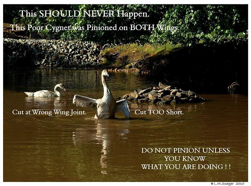 Mute Swan Pinion