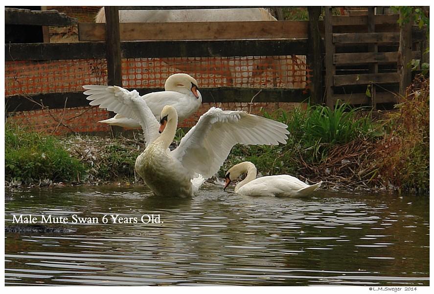 Full Wing Swan
