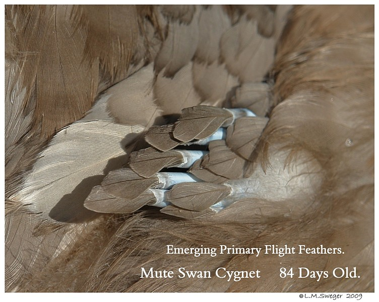 Swan Cygnet 84 Days Old