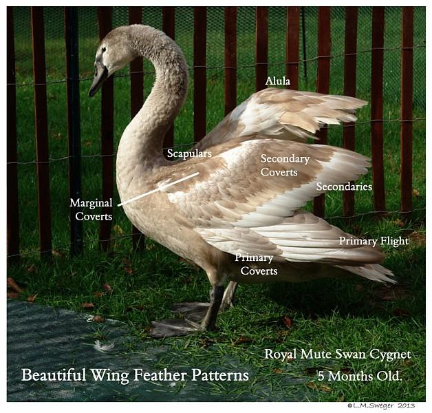 Mute Cygnet Wing Feather Anatomy