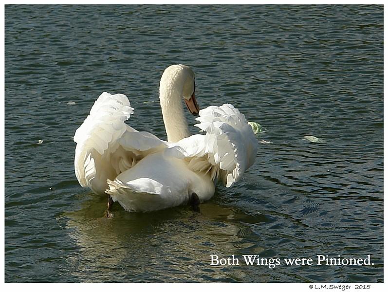 Pinion Swan