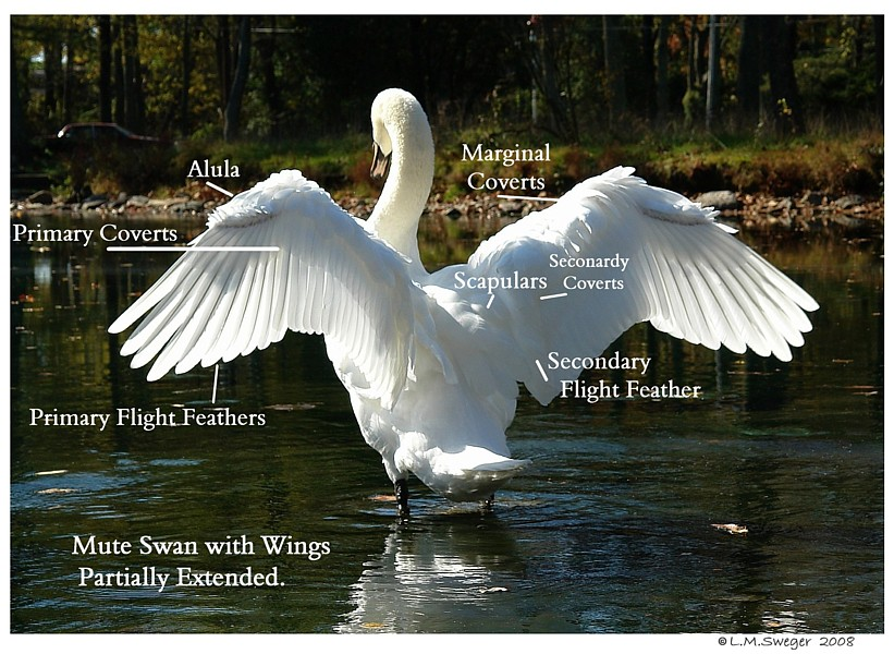 SWAN Wing Feather Anatomy