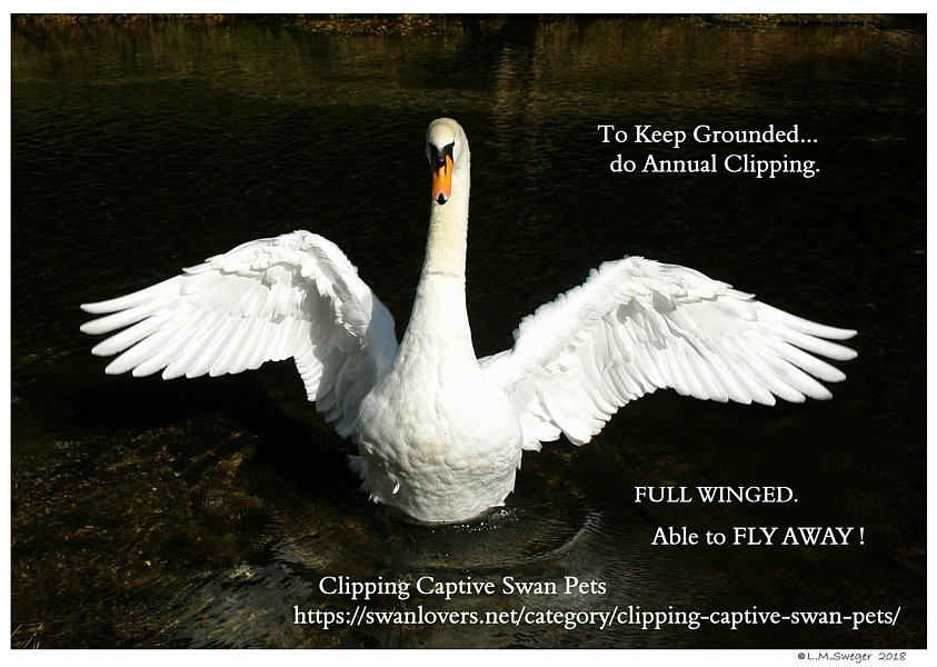 Clipping Swan Wings