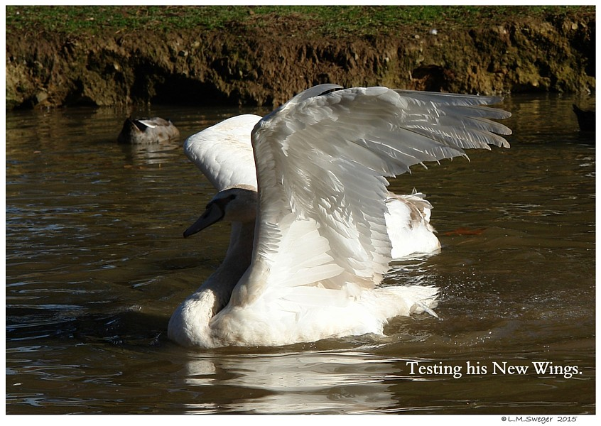 Mute Cygnet First Wing Feathers