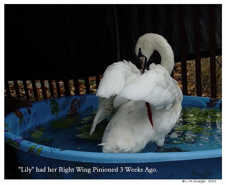 Mute Swan Pinioned