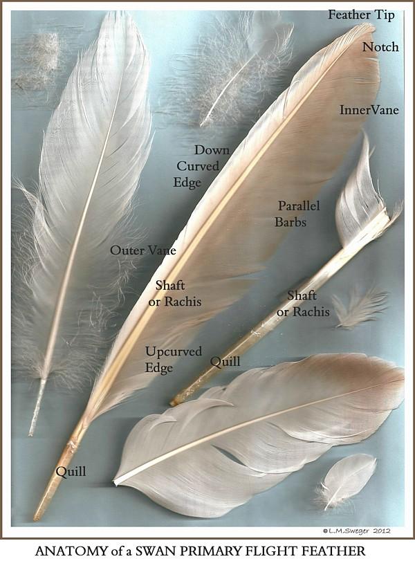 ANATOMY MUTE SWAN Feathers