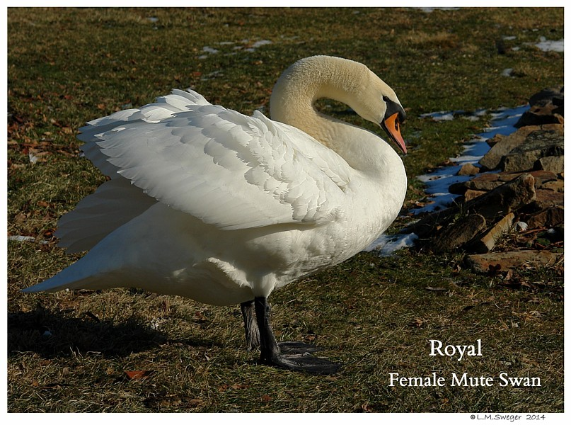 Royal Mute Swan Pen