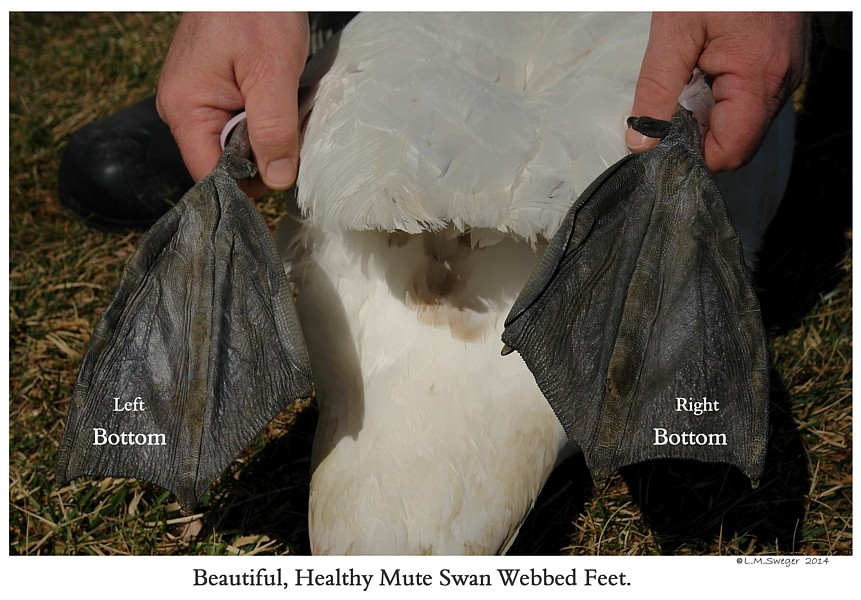 Royal Mute Swan Feet