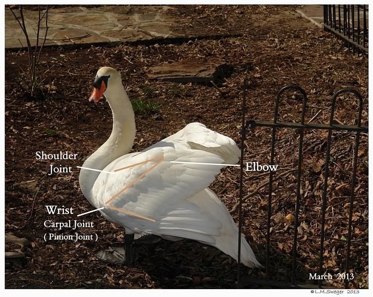 Mute Swan Wing
