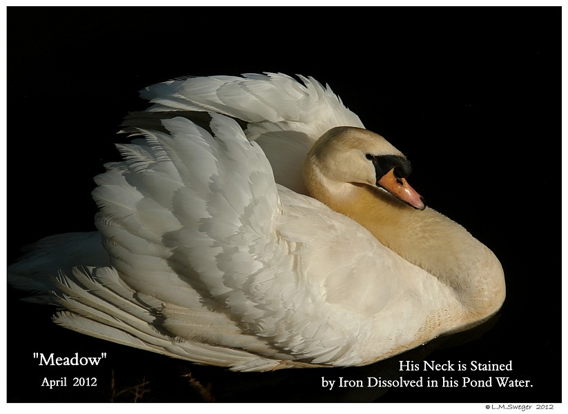 Mute Swan Red-Head SWAN MOULTING Feathers