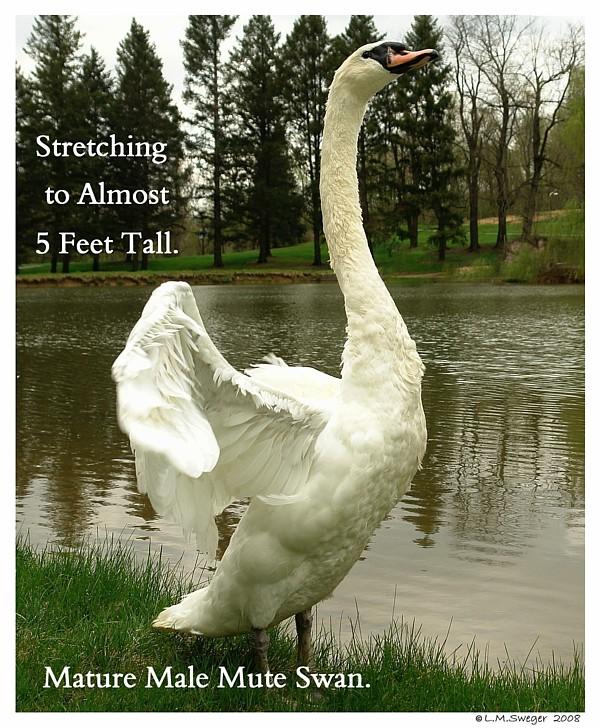 Male Mute Swan
