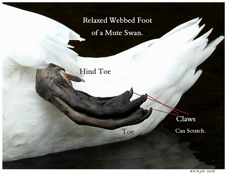 Mute Swan Feet