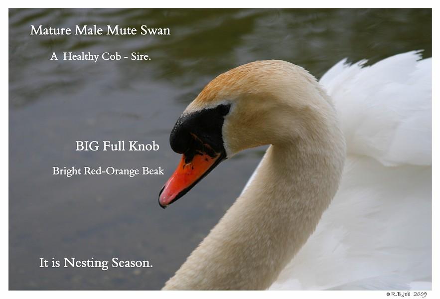Mute Swan Cob Knob