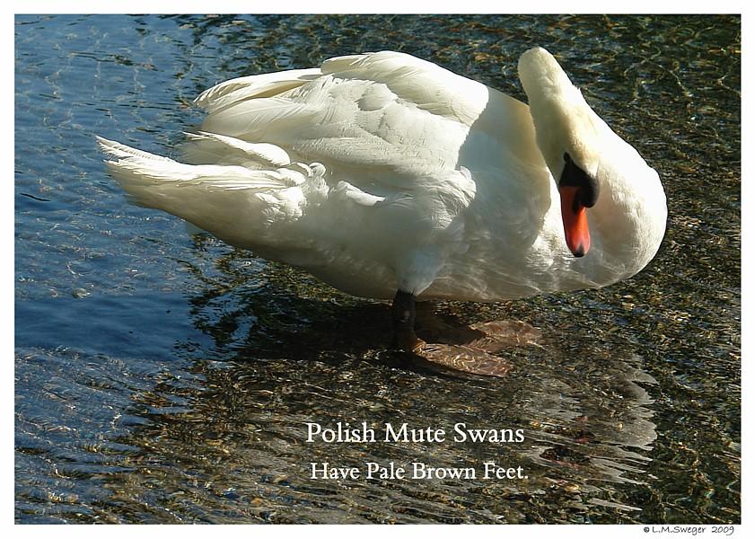 Polish Mute Swan