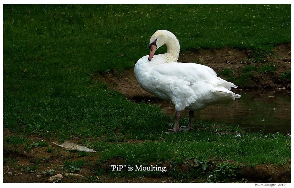 Mute Swan Moult