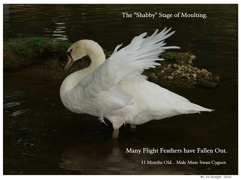 Mute Swan Shabby Stage SWAN MOULTING Feathers