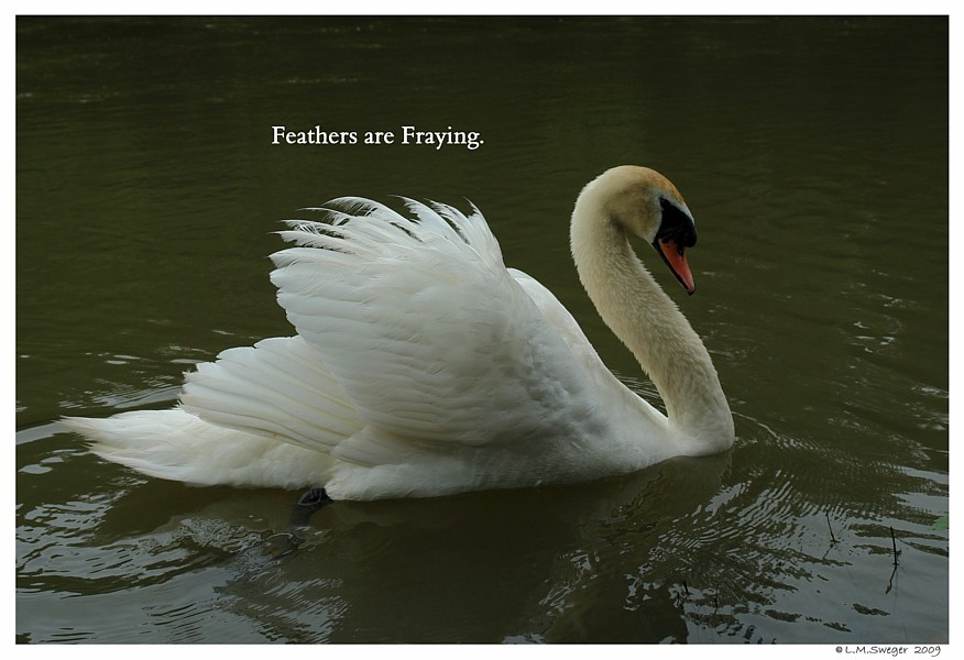SWAN MOULTING Feathers