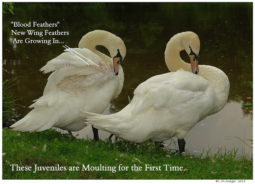 Mute Swans Blood Feathers SWAN MOULTING Feathers