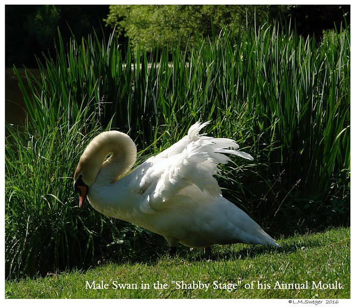 Mute Swan Shabby Stage