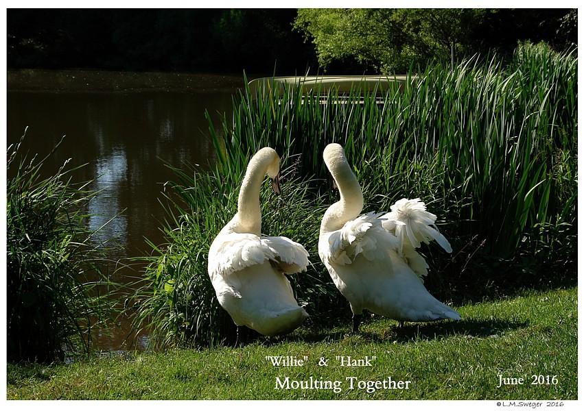 Male Swans Moult