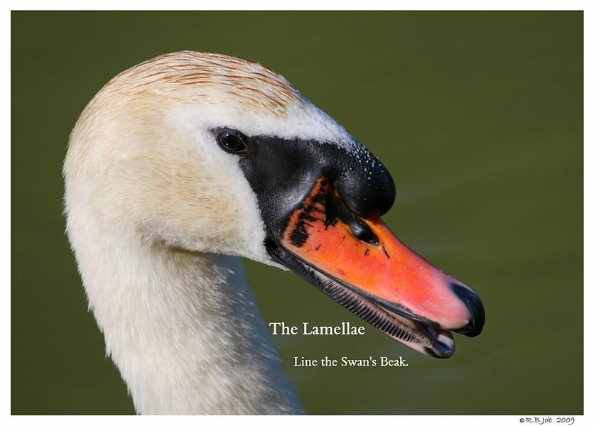 Mute Swan Beak Lamella