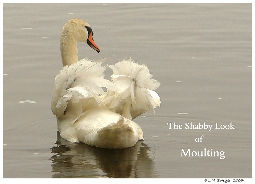 Mute Swans Shabby Stage SWAN MOULTING Feathers