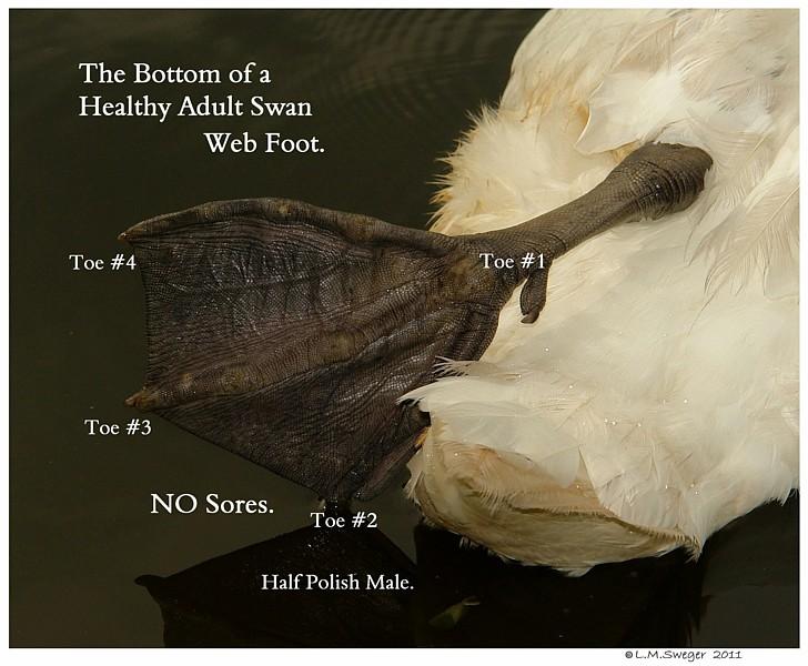 Mute Swan Foot