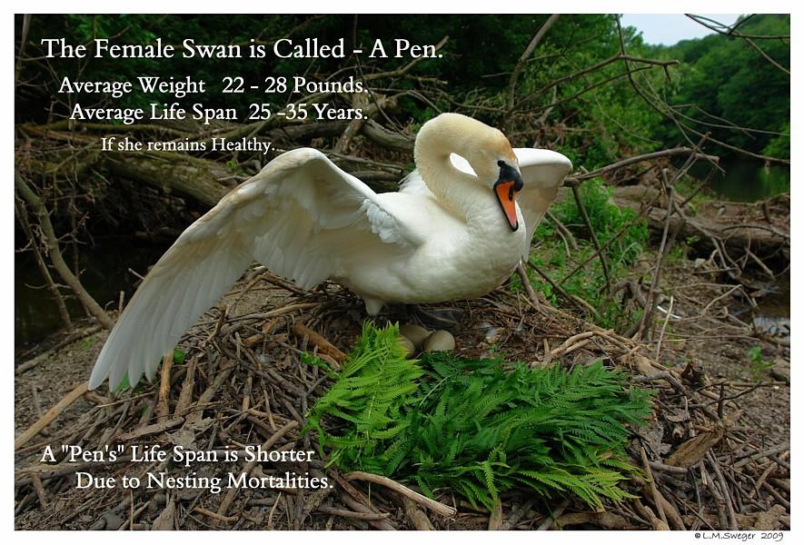 Mute Swan Pen Female
