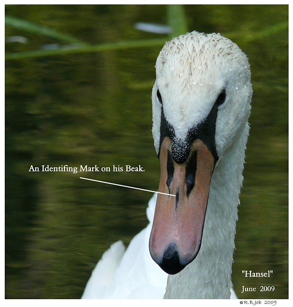 Mute Swan ID